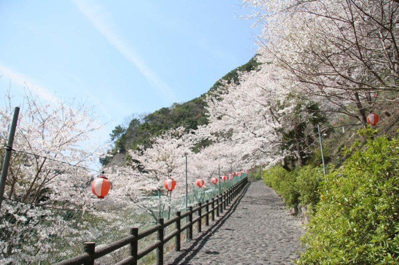 広川ダムの桜