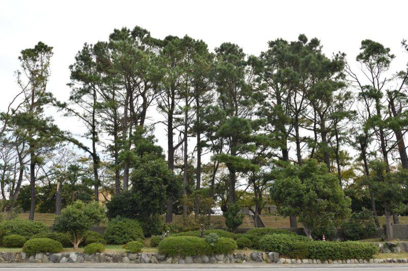広村堤防の松